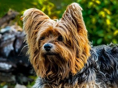 How to Groom a Yorkie with Matted Hair - YorkShireTerrier