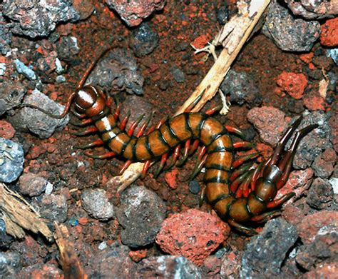 Giant Centipede (Scolopendra subspinipes) - The Firefly Forest