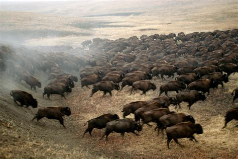 American Symbol: National Geographic's Best Bison Pictures