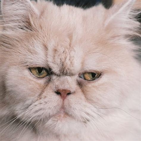 Persian Cat For Sale in Vancouver   Persian kittens For Sale