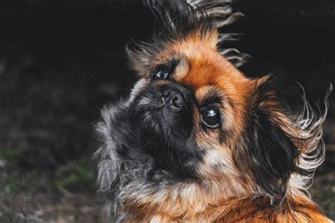 Best Dog Clippers for Yorkie [Recommended By Pro Groomers]