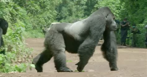 Silverback Gorilla Walked Out to Stop Traffic for This