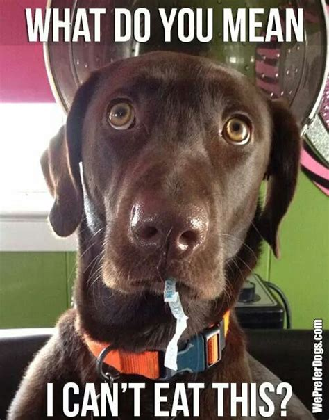 12 Things Labradors Do That Drive Us Nuts
