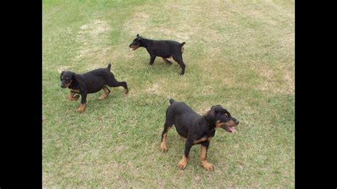 Doberman Pinscher, Puppies, Dogs, For Sale, In Charlotte