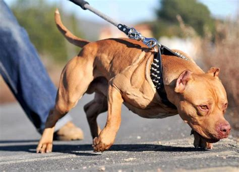 Top 10 Most Expensive Dog Breeds in India - PetHelpful
