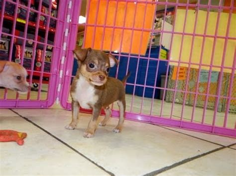 Chihuahua, Puppies, Dogs, For Sale, In Charlotte, North