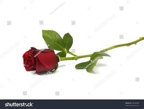 A Single Red Rose Lying Down On A White Background Stock