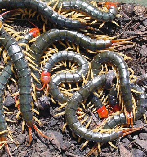 World Animal Beauti And Funny: Centipede