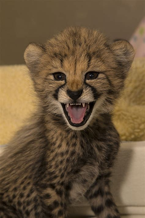 Smiling cheetah cub | These cubs with be animal