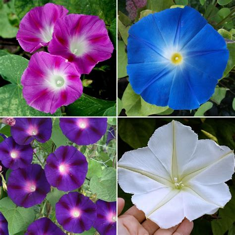 Top O' The Morning - Morning Glory Flower Seed Mix