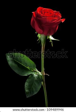 One Red Rose On A Black Background Stock Photo 109489946