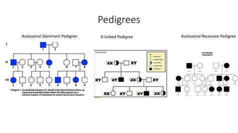 PPT - Pedigrees, Gender and X-Linked Traits PowerPoint