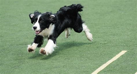 Border Collie Puppies for sale near you